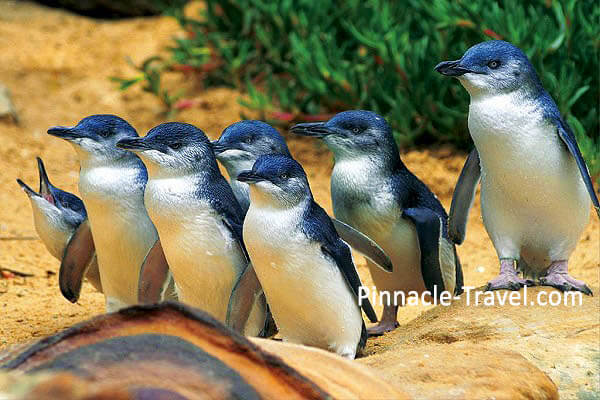 Australia Melbourne | The Penguin Parade | 4 Days 3 Nights Melbourne Twin Flexi Tour Australia holiday package from Singapore