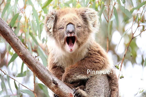 Australia Perth | Koala | 4 Days 3 Nights Perth Discovery Tour Australia holiday package from Singapore