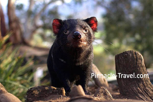 Australia Tasmania | Tasmania Devil | 6 Days 5 Nights Hobart + Launceston Combo Tour Australia holiday package from Singapore